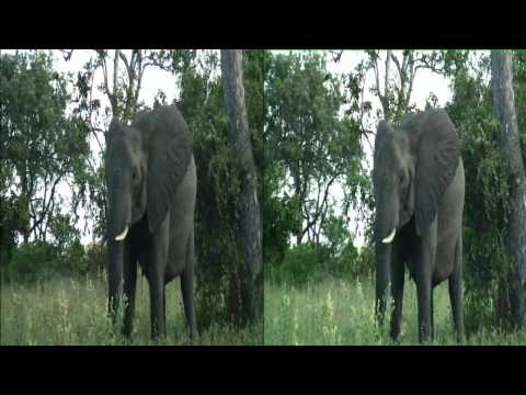 Elephant herd feeding on marula trees on Safari TV Diary - 2011.02.26