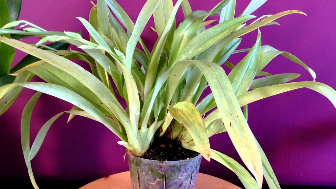 Orchid Care How To Care For Miltoniopsis Orchids Quot How To