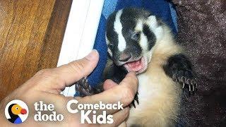 World's Most Adorable Badger | The Dodo Comeback Kids