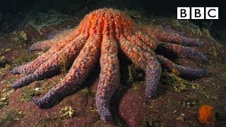 Zombie Starfish | Nature's Weirdest Events - BBC