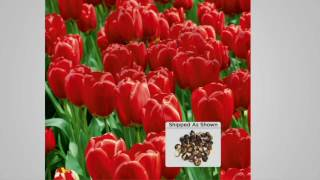 Roberta's 25 Piece Sky High Scarlet Tulip Collection on QVC