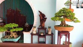 Dàn Bonsai trưng bày trong nhà của nghệ nhân Thanh Hóa