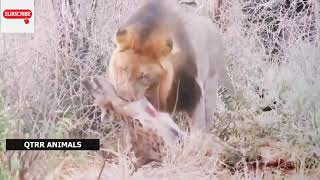 Angry Lion vs Hyena Fight! Hyena Lion Attack Hunting!