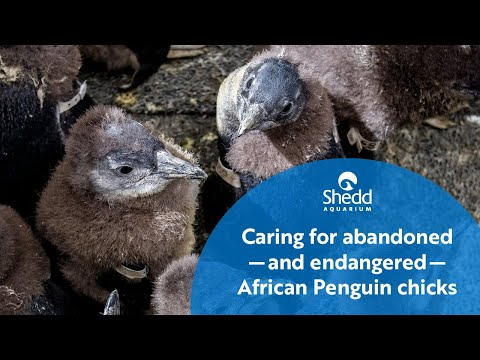 Shedd Cares for Abandoned—and Endangered—African Penguin Chicks