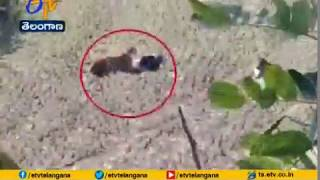 Viral video: Man plays dead to protect himself from tiger..