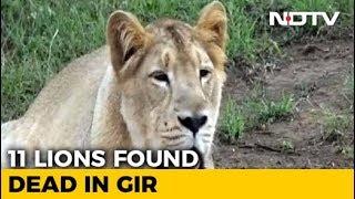 11 Lions Found Dead In Gujarat's Gir Forest..