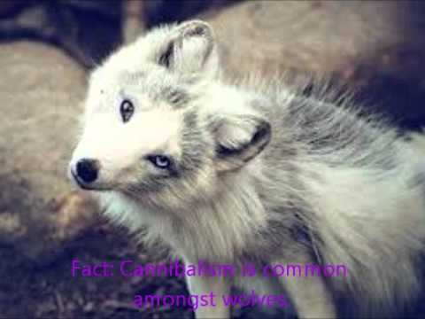 Displaying  16  Gallery Images For White Wolf With Purple Eyes   Black Wolf With Purple Eyes