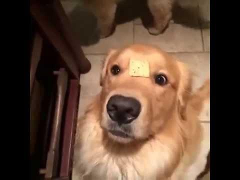 Ретривер си го изгуби крекерот - на чело!