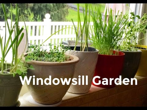 Windowsill Garden Garlic Greens and Microgreens
