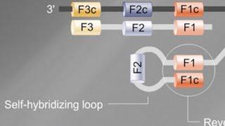 Loop Mediated Isothermal Amplification (LAMP) Tutorial
