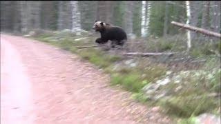 Björn går till attack
