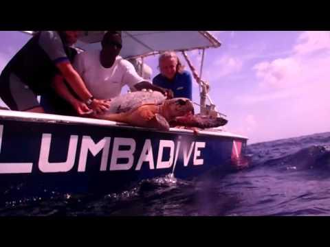 Tortue Hawksbill de 60 ans remise à l'eau