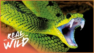 World's Deadliest Venom  [Killer Snakes Documentary] | Wild Things