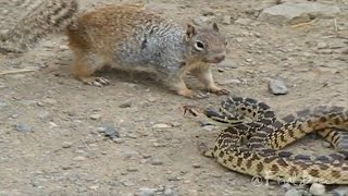8 Шокирующих Битв Животных Снятых на Камеру