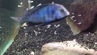 African cichlid fish releasing fry from mouth