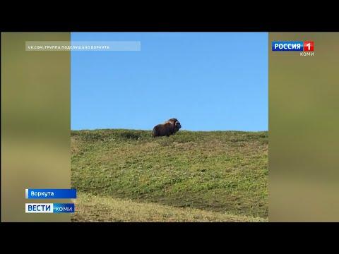 В Воркутинском районе был замечен овцебык