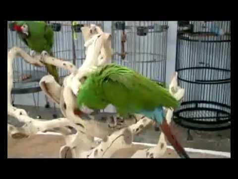 Veliki papagaji - ishrana