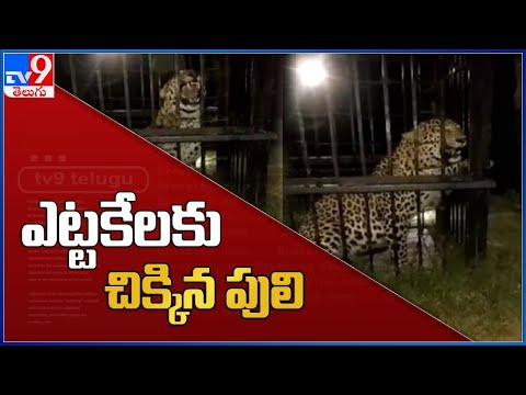 ఎట్టకేలకు చిక్కిన పులి - TV9