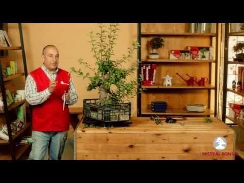 Herramientas para alambrar bonsáis 3. Alambrar y desalambrar