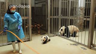 Panda keeper gives the baby cub back to his mum