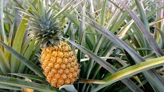 How To Grow Pineapples | How Do they do it