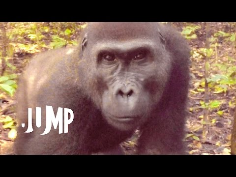 Gorillas in the Congo: A Jump VR Video