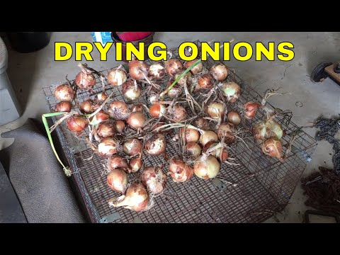 DRYING ONIONS FOR STORAGE