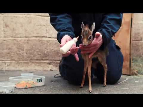 Keepers step in to hand-rear orphaned baby antelope at Chester Zoo