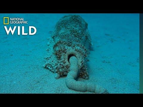 Sea Cucumber Poop