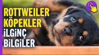 Rottweiler köpekler hakkında ilginç bilgiler   Hayvanlar Alemi   Aklında olsun