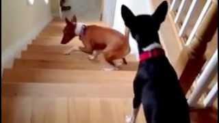 Вижте КОЛКО СМЕШНО се изкачва това куче по стълбите!