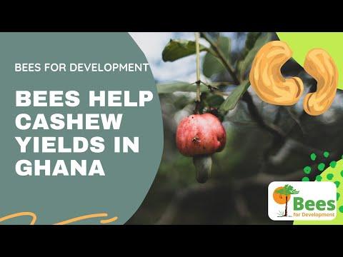 Bees help cashew farmers in Ghana