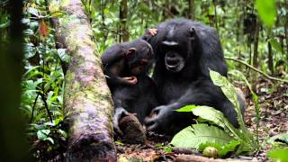 Chimpanzee Trailer - In Theaters April 20