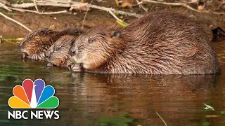 Beavers Thrive In The English Wild After Mysterious Arrival In River | NBC News NOW
