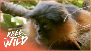Kings Of The Canopy [Monkey Survival Documentary] | Wild Things