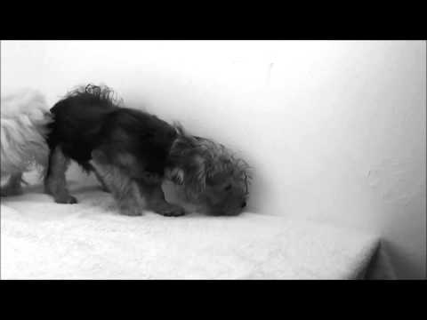 Oceanside Puppy Malti-Poo Yorkie-Poo