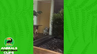 Dog Opens a Door without Help | Animals Doing Things Clips