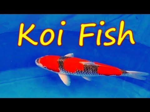 All japan koi show world best koi fish musica movil for Best koi fish