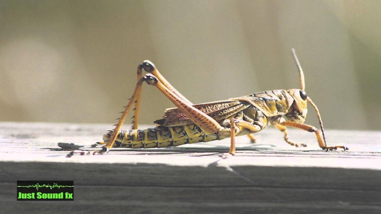 cricket animal sound - YouTube