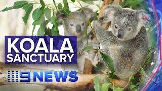 Two billion new trees to boost koala population | Nine News Australia