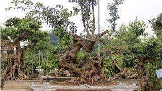 Những gốc phôi cực giá trị trong sân vườn anh Minh Dưỡng