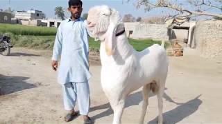Nagri Breeder - Nagri Bakra For Goat Farmers - Big Nagri