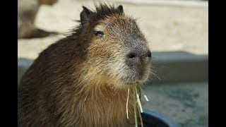 13 Amazing Capybara Facts