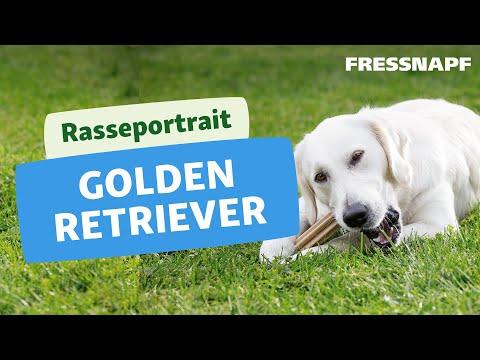 Rasseportrait Golden Retriever