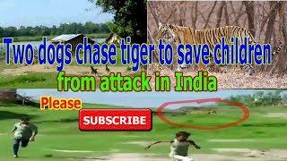 Psi napali ogromnog tigra i spasili djecu od opasne životinje koja je ušla u selo (VIDEO)