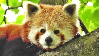 Red Panda Cute - The Worlds Cutest Animal