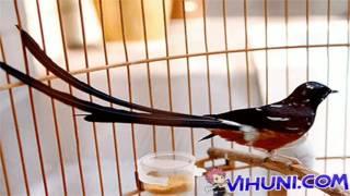 Tiếng chim chích chòe lửa hót để bẫy tải về miễn phí