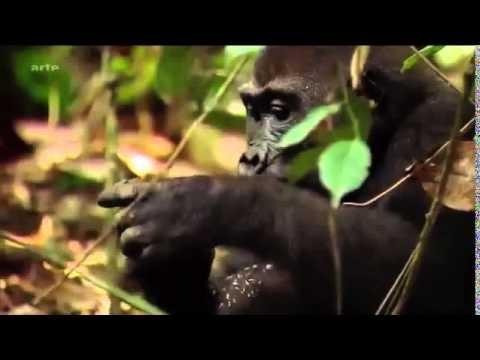 les gorilles du Congo