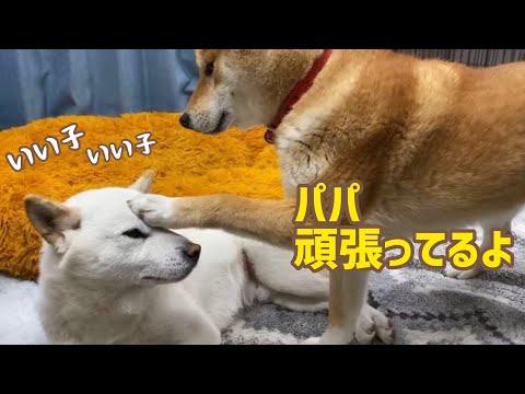 白 の 柴 日常 太郎 柴犬 みかん q と