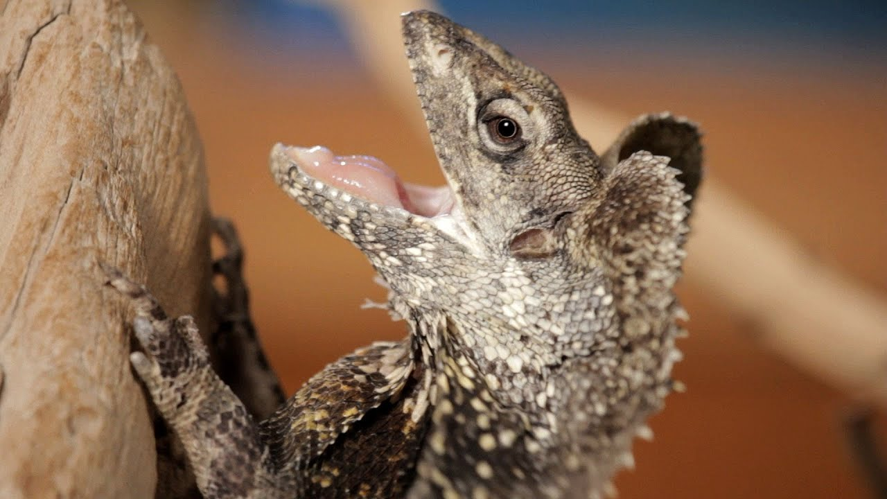 5 Cool Facts about Frilled Dragons | Pet Reptiles - YouTube